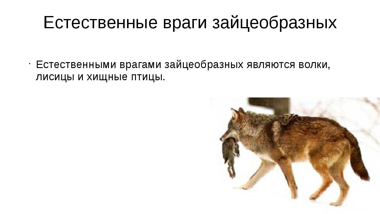 Естественные враги зайцеобразных Естественными врагами зайцеобразных являются...