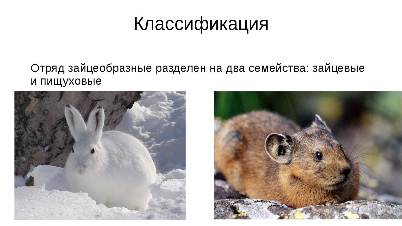 Классификация Отряд зайцеобразные разделен на два семейства: зайцевые и пищух...