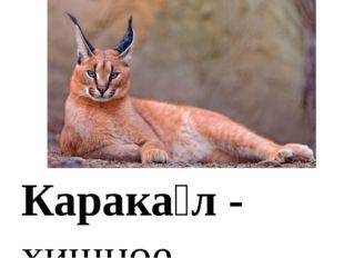 Карака́л - хищное млекопитающее семействакошачьих. Внешне напоминаетрысь, н