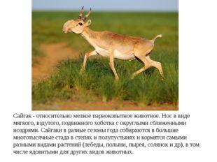 Сайгак - относительно мелкое парнокопытное животное. Нос в виде мягкого, взду