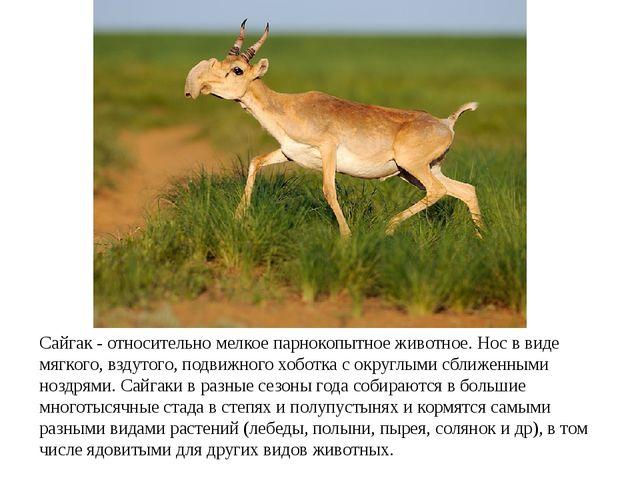 Сайгак - относительно мелкое парнокопытное животное. Нос в виде мягкого, взду...