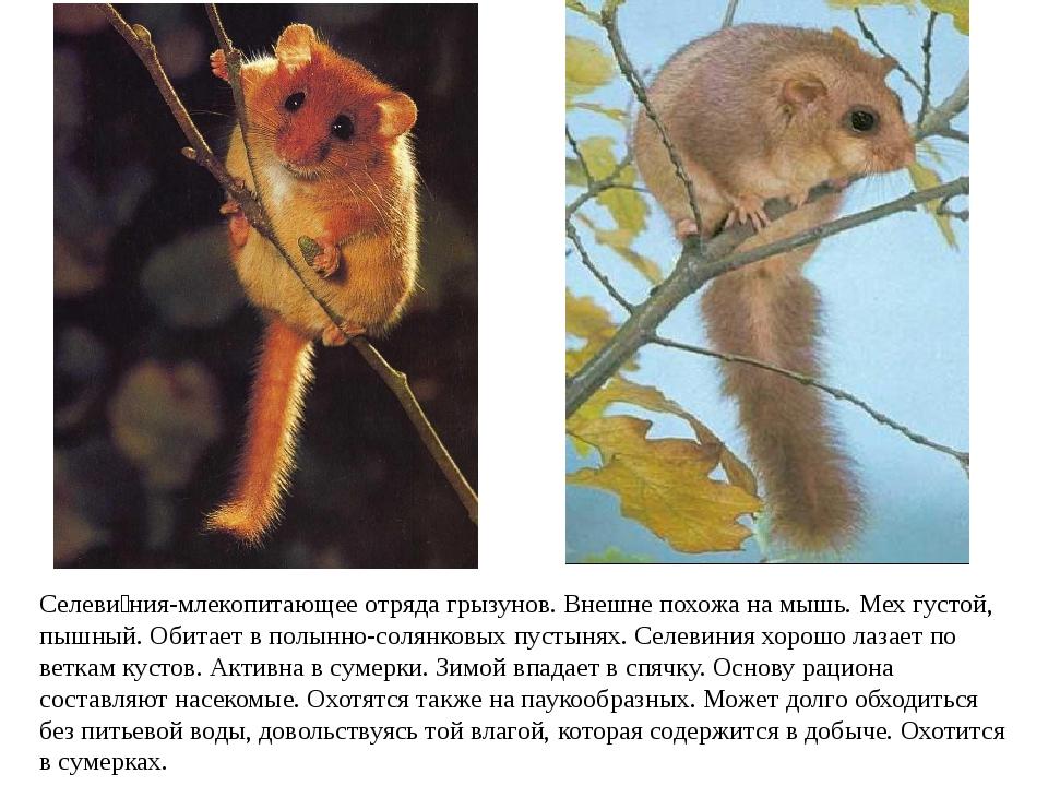 Селеви́ния-млекопитающееотряда грызунов. Внешне похожа намышь. Мех густой,...