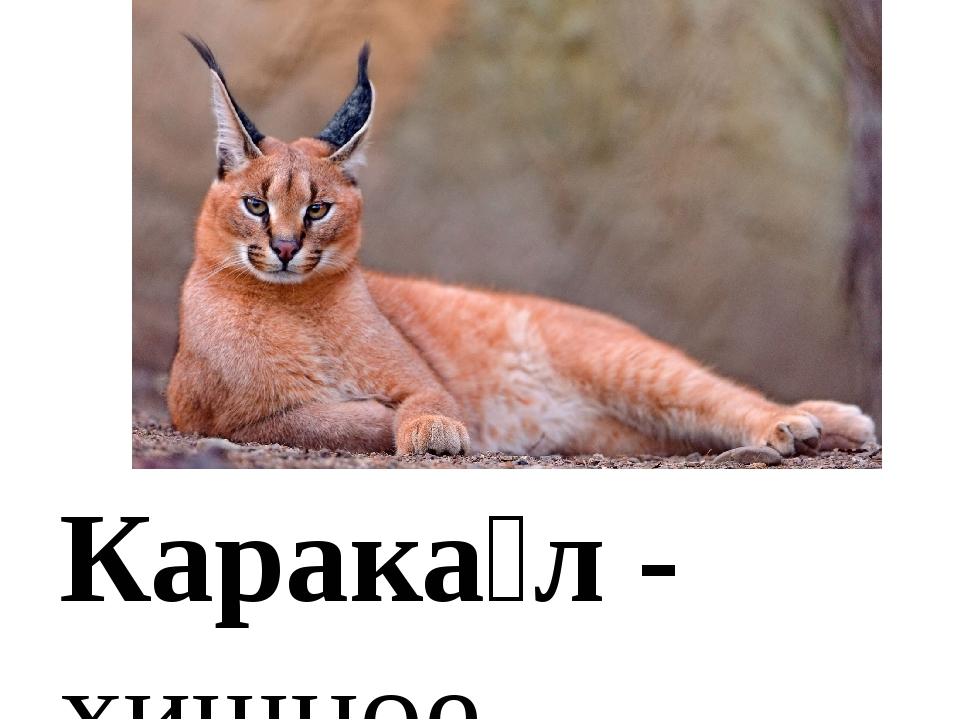 Карака́л - хищное млекопитающее семействакошачьих. Внешне напоминаетрысь, н...