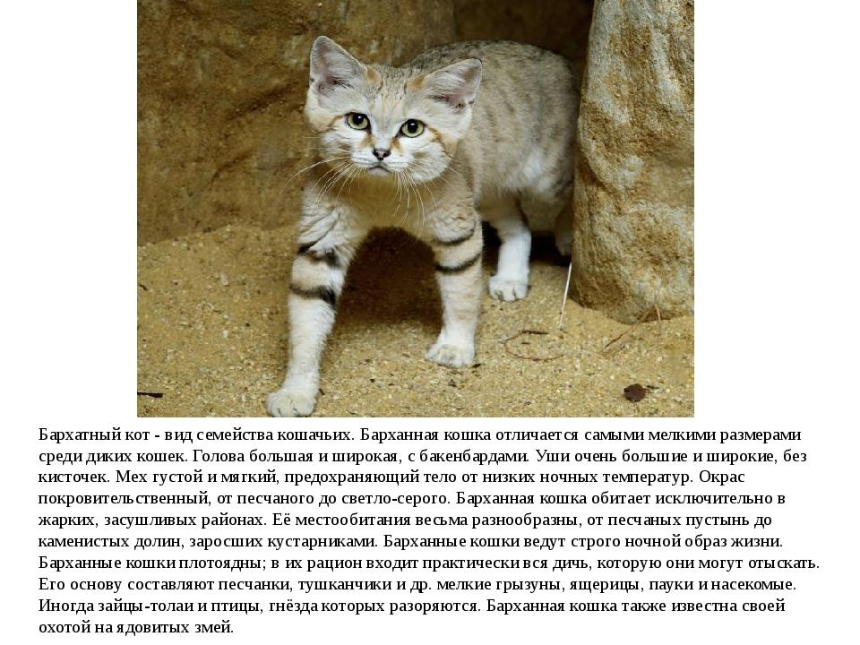Бархатный кот - вид семействакошачьих. Барханная кошка отличается самыми мел...