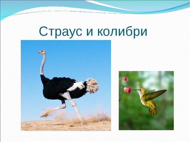 Страус и колибри