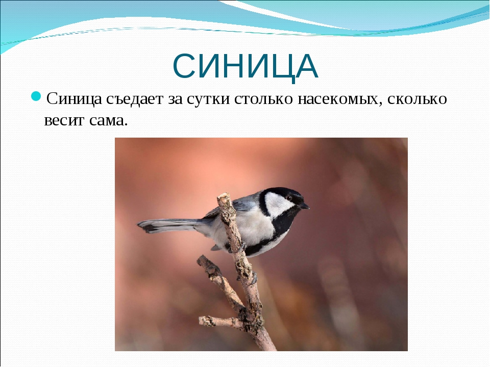СИНИЦА Синица съедает за сутки столько насекомых, сколько весит сама.