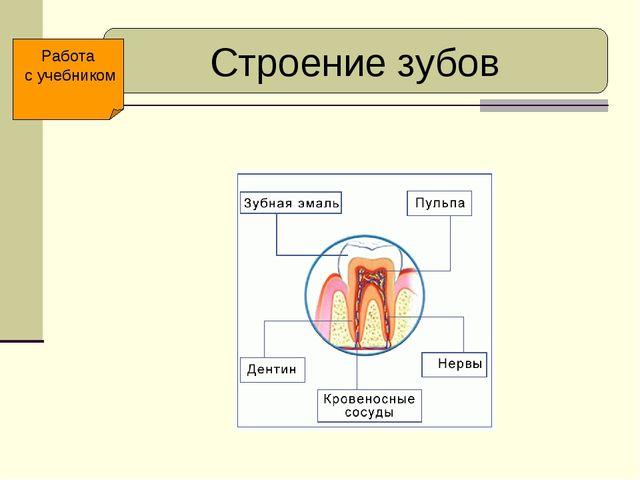 Строение зубов Работа с учебником