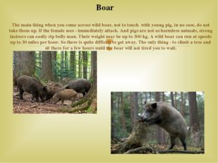 The main thing when you come across wild boar, not to touch with young pig,