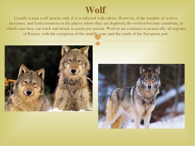 Wolf. Usually a man wolf attacks only if it is infected with rabies. However,...