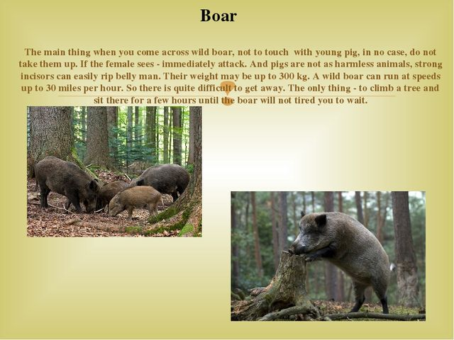 The main thing when you come across wild boar, not to touch with young pig,...