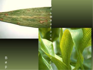 Гельминтоспориоз стеблей, початков и листьев кукурузы (южный гельминтоспориоз