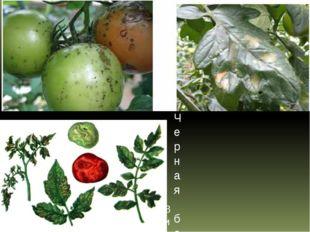 Вирус пятнистого увядания томата (Бронзовость томата) Черная бактериальная пя