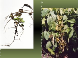 Фузариоз гороха (корневая гниль и трахеомикозное увядание) Фузариоз сои (корн