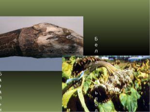 БОЛЕЗНИ МАСЛИЧНЫХ КУЛЬТУР Базальная гниль стеблей, южная склероциальная гниль