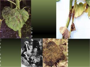 Септориозная пятнистость листьев подсолнечника Серая гниль подсолнечника Сера