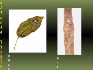 БОЛЕЗНИ ПЛОДОВО-ЯГОДНЫХ КУЛЬТУР Альтернариоз яблони Антракноз яблони
