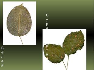 Белая пятнистость листьев груши Бурая пятнистость листьев яблони (филлостиктоз)