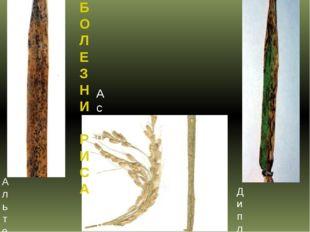 БОЛЕЗНИ РИСА Альтернариоз или оливковая плесень риса Аскохитоз риса Диплодиоз