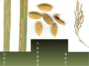 Септориоз риса Твердая головня риса Филлостиктоз риса