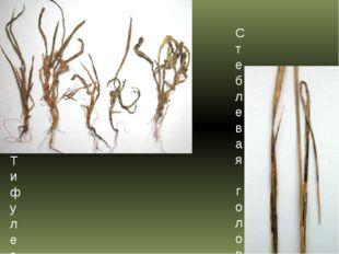 Тифулезное выпревание, или тифулез пшеницы Стеблевая головня пшеницы