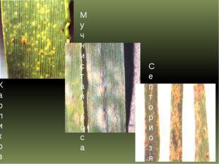Карликовая ржавчина ячменя Мучнистая роса ячменя Септориоз ячменя