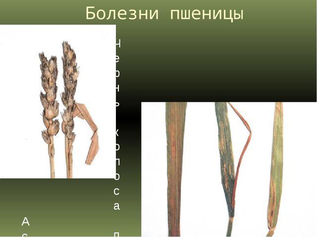 Болезни пшеницы Чернь колоса пшеницы. Аскохитоз пшеницы