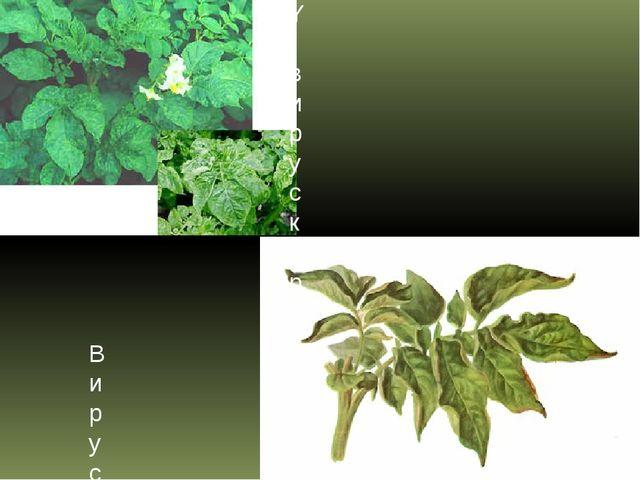 Y-вирус картофеля (YВК) Вирус скручивания листьев картофеля