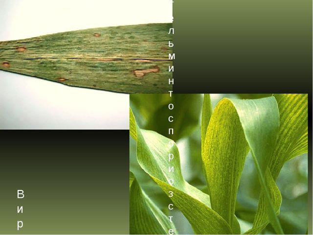 Гельминтоспориоз стеблей, початков и листьев кукурузы (южный гельминтоспориоз...