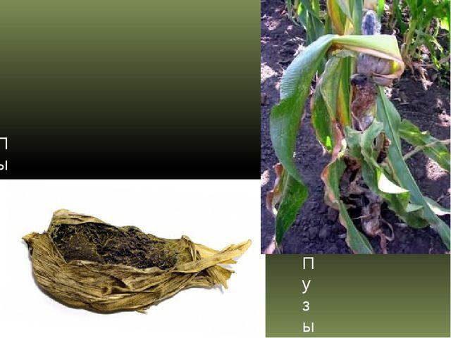 Пыльная головня кукурузы Пузырчатая головня кукурузы
