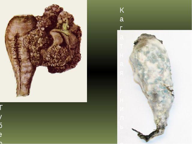Кагатная гниль сахарной свеклы Туберкулез свеклы