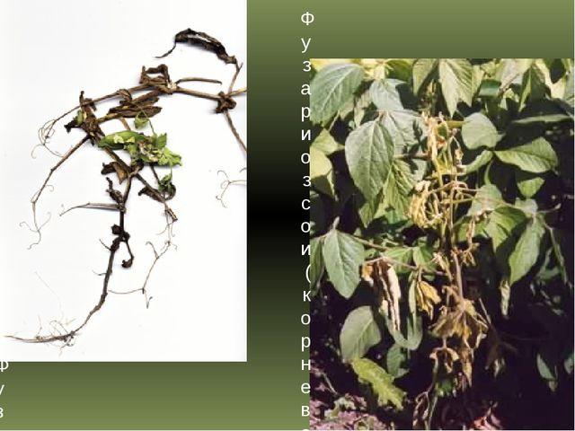Фузариоз гороха (корневая гниль и трахеомикозное увядание) Фузариоз сои (корн...