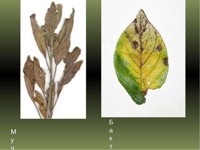 Мучнистая роса яблони Бактериальный рак косточковых плодовых деревьев