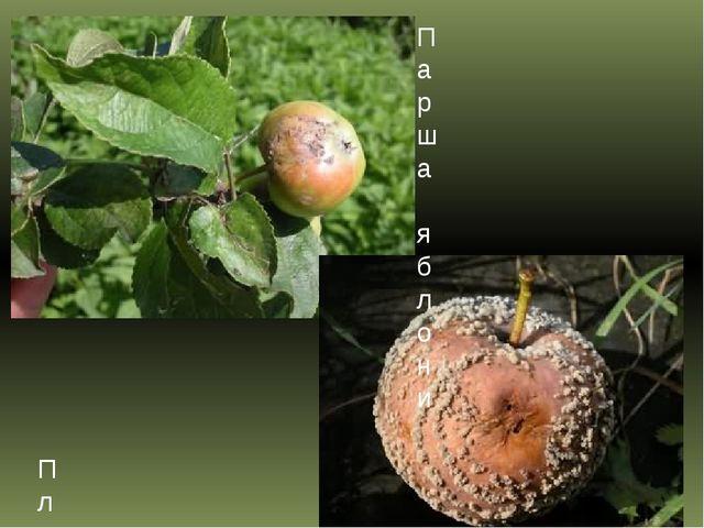 Парша яблони Плодовая гниль или монилиоз яблони