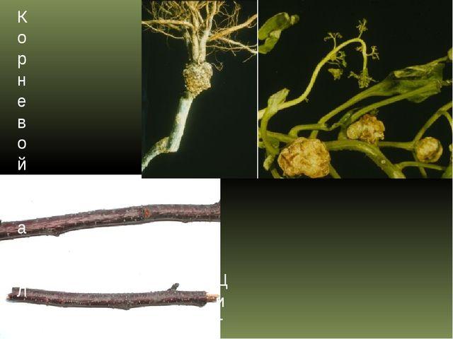 Цитоспороз (усыхание) косточковых культур Корневой рак плодовых культур