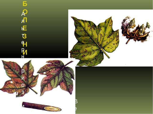 БОЛЕЗНИ ХЛОПЧАТНИКА Альтернариоз листьев хлопчатника Вертициллезный вилт хлоп...