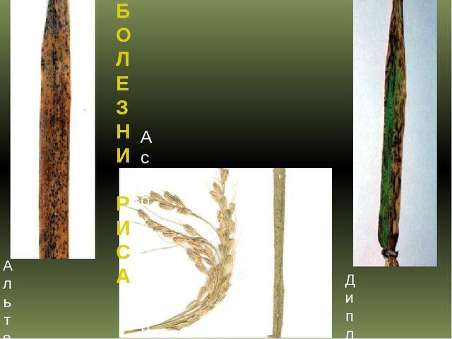 БОЛЕЗНИ РИСА Альтернариоз или оливковая плесень риса Аскохитоз риса Диплодиоз...