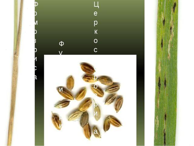 Фомоз риса Фузариоз риса Церкоспороз риса
