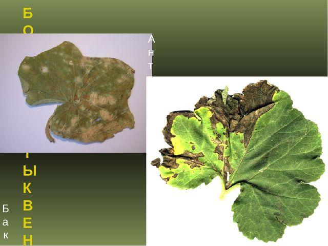 БОЛЕЗНИ ТЫКВЕННЫХ КУЛЬТУР Бактериальная листовая пятнистость тыквенных культу...