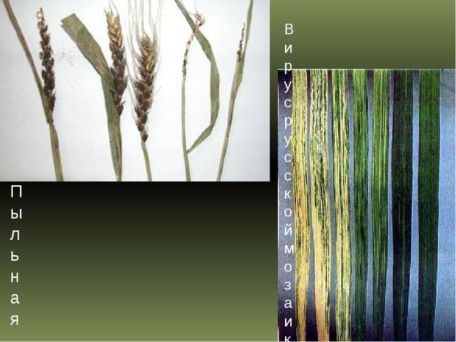 Пыльная головня пшеницы Вирус русской мозаики озимой пшеницы