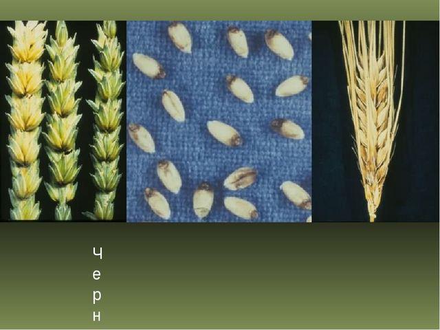 Черный бактериоз пшеницы