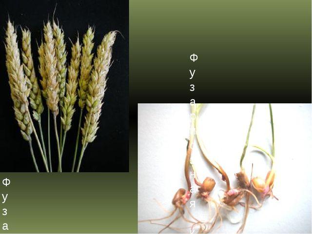 Фузариоз колоса пшеницы Фузариозная корневая гниль пшеницы