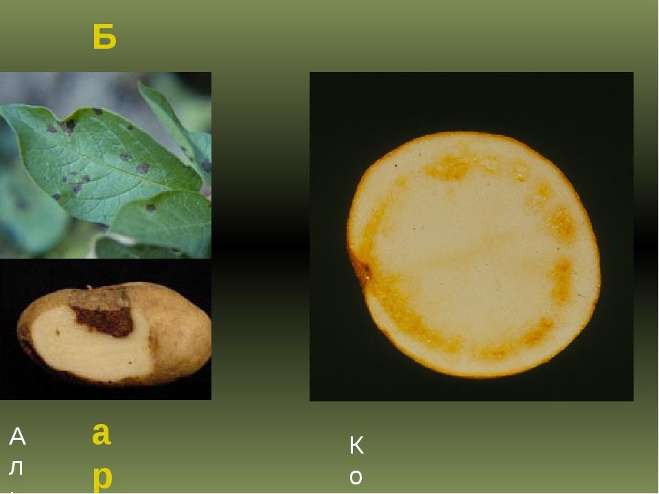 Болезни картофеля Альтернариоз картофеля Кольцевая гниль картофеля