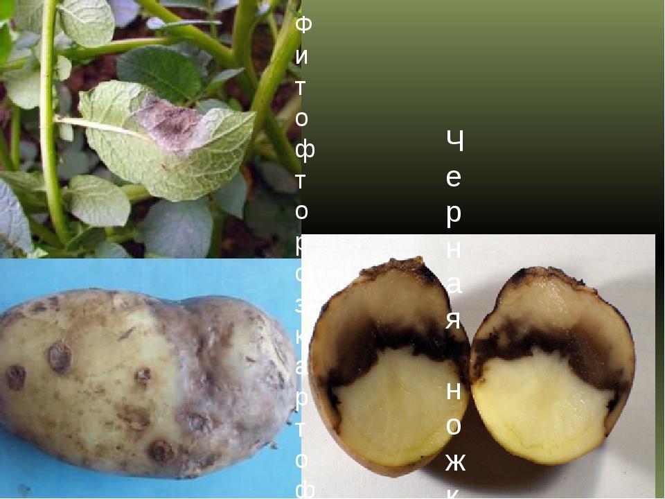 Фитофтороз картофеля Черная ножка (мягкая гниль) картофеля