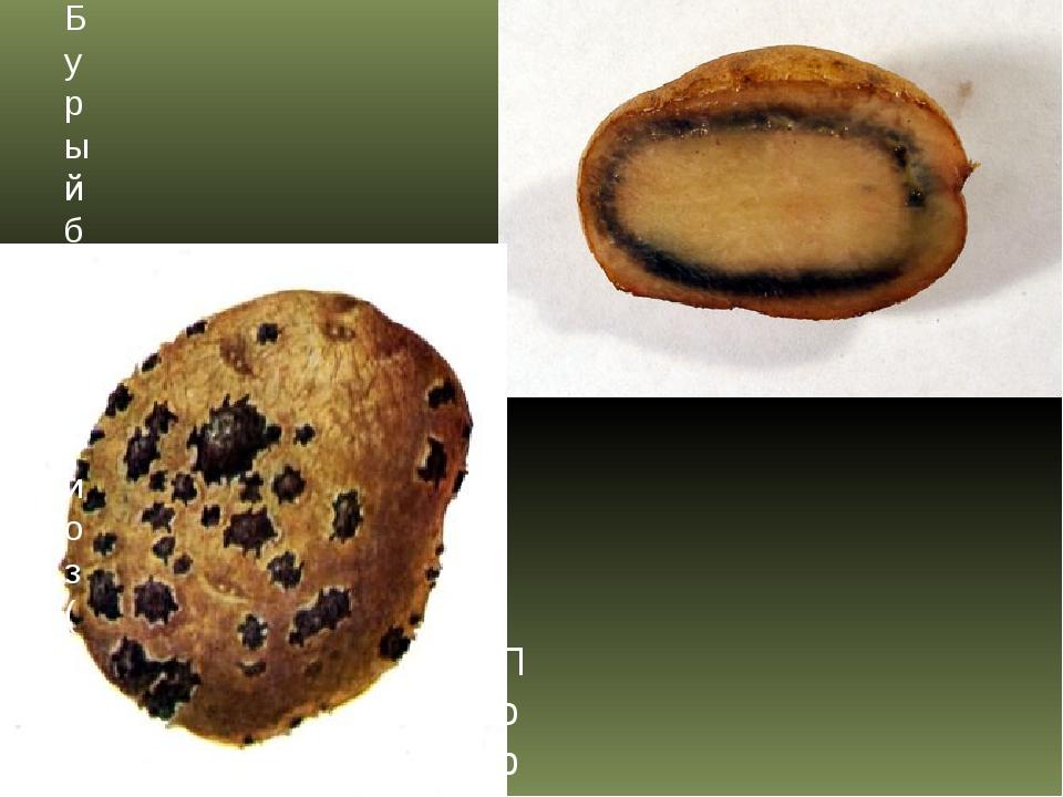 Бурый бактериоз (бактериальное увядание) картофеля Порошистая парша картофеля