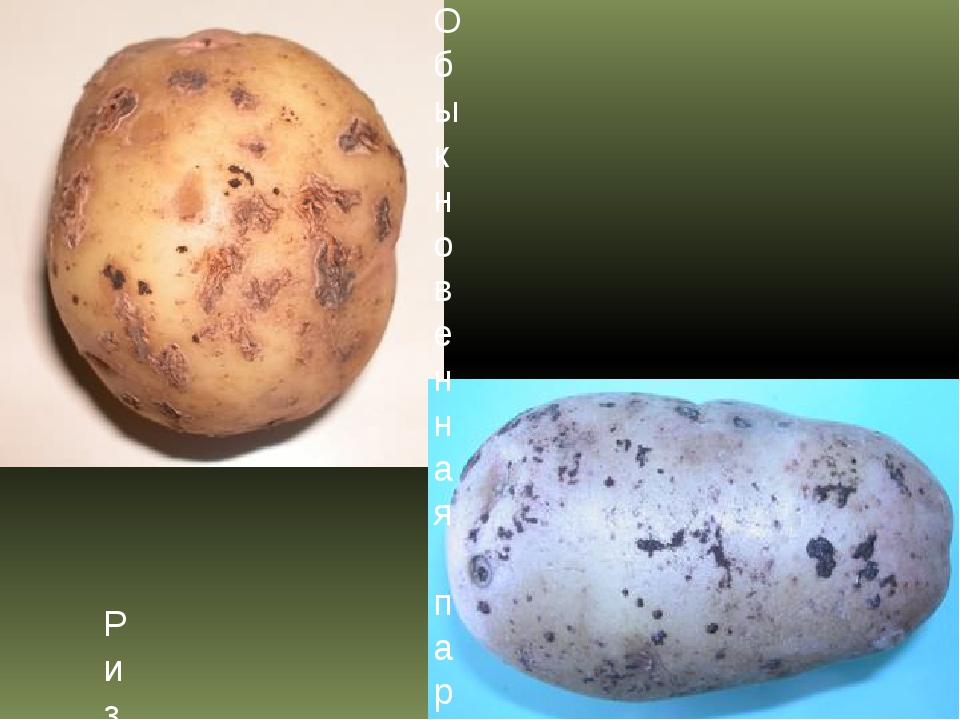 Обыкновенная парша картофеля Ризоктониоз, или черная парша картофеля