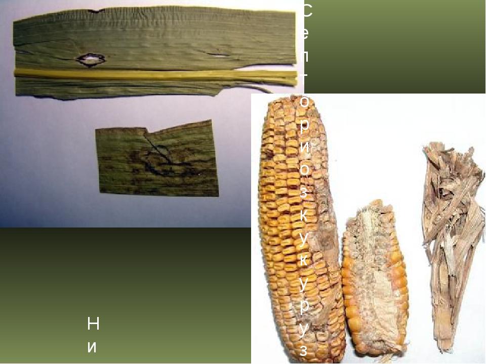 Септориоз кукурузы Нигроспориоз кукурузы
