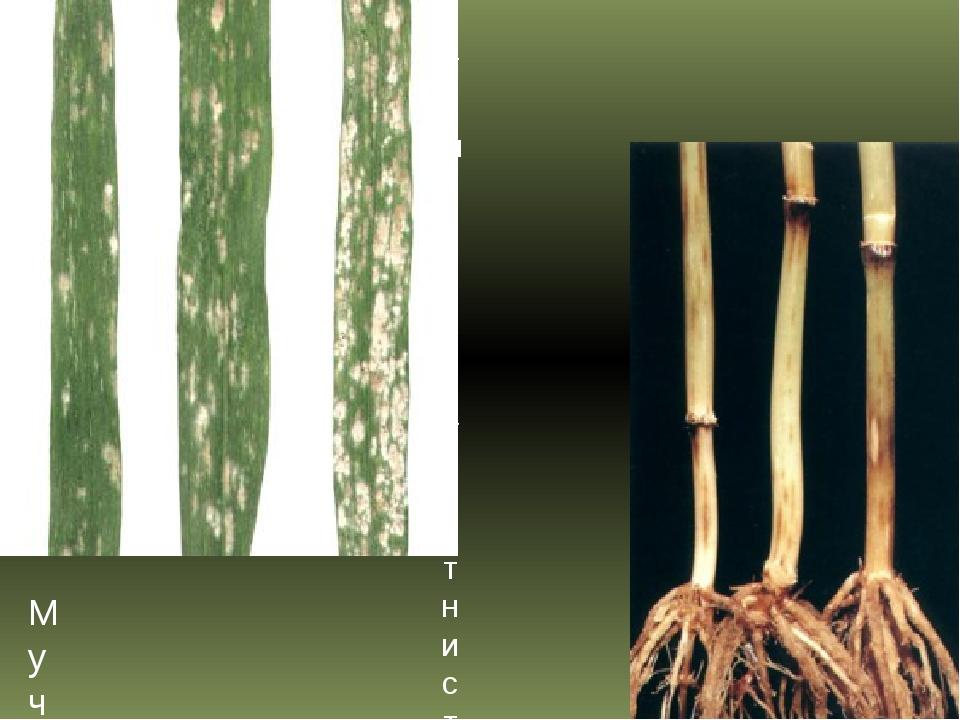 Мучнистая роса пшеницы Темно-бурая пятнистость (гельминтоспориоз) пшеницы