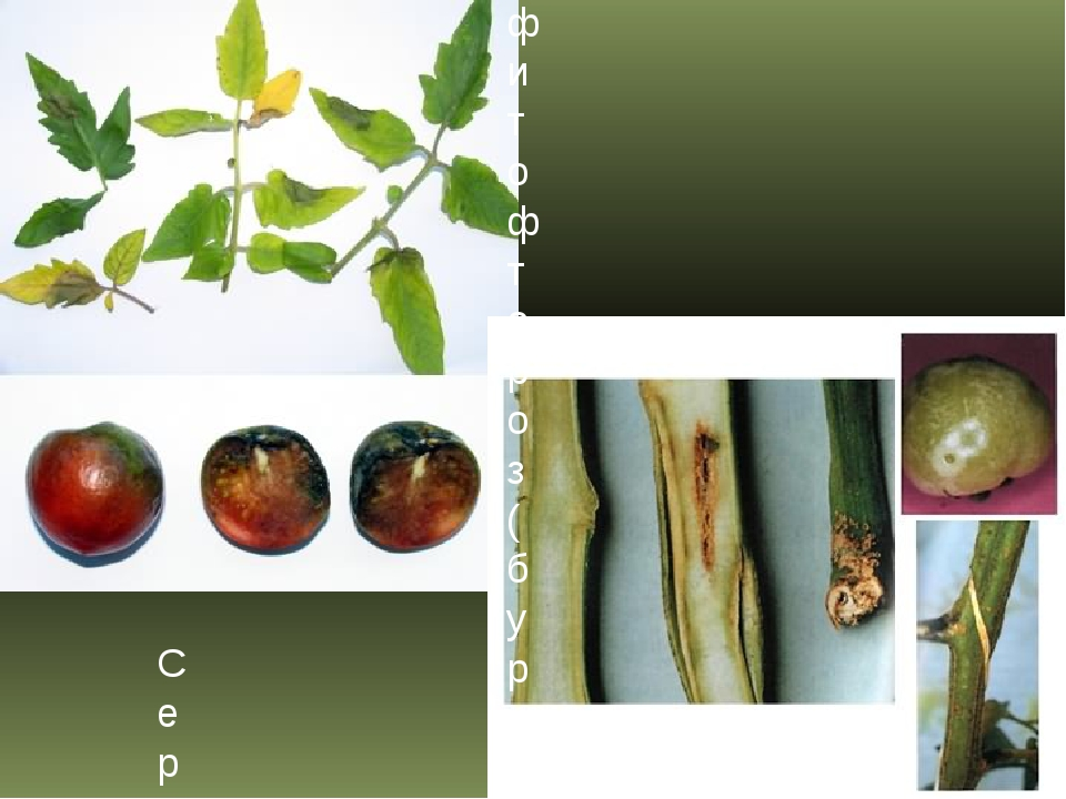фитофтороз (бурая гниль плодов томата) Сердцевинный некроз стеблей томата