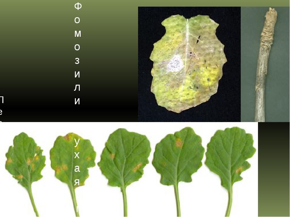 Фомоз или сухая гниль капусты Пероноспороз или ложная мучнистая роса капусты