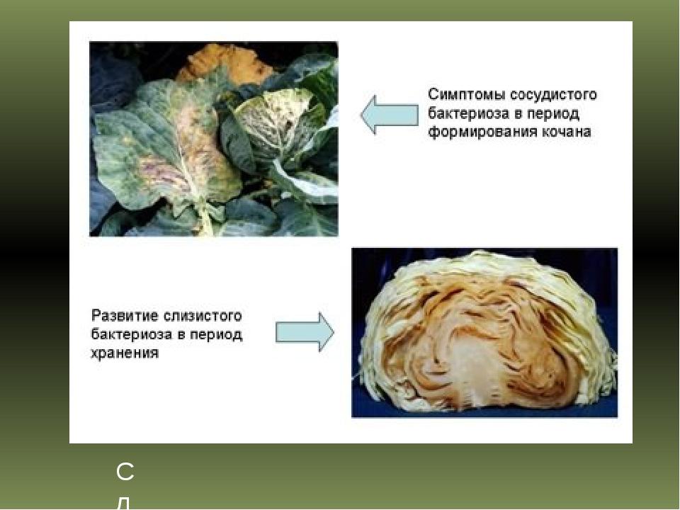 Слизистый бактериоз капусты